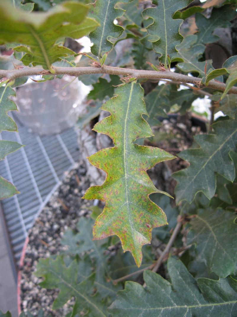 Quercus cerris Img_4320