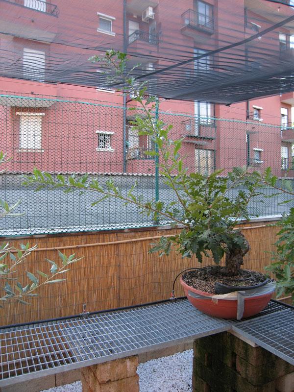Quercus cerris Img_4410