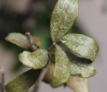 SOS Ilex perdita foglie su rami inferiori Img_5810