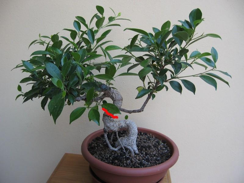 Ficus Retusa....lo abbasso ?? - Pagina 2 Img_7810