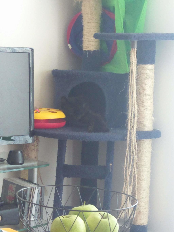 Clochette, femelle type européenne noire angora née 1er mai 2017  Imag1914