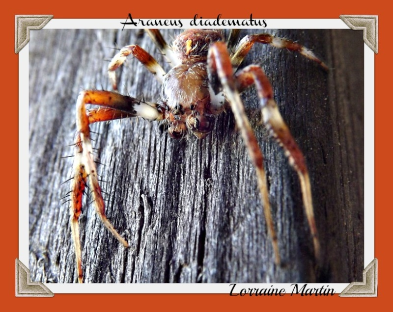 Araignée L'Épeire diadème (Araneus diadematus) Dscf2710