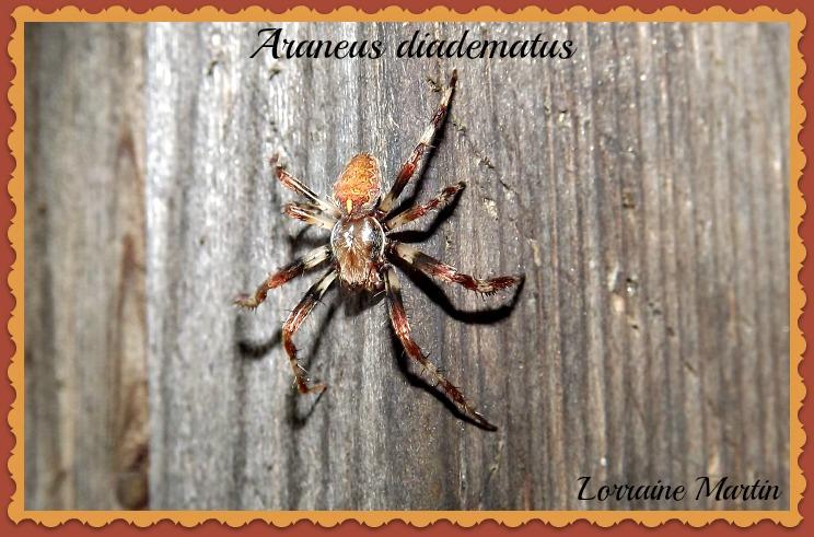 Araignée L'Épeire diadème (Araneus diadematus) Dscf2711