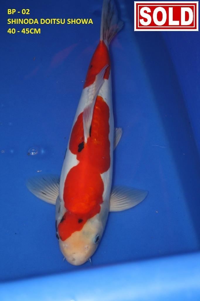 Sakura Koi Sales - Big Pond Img_4246