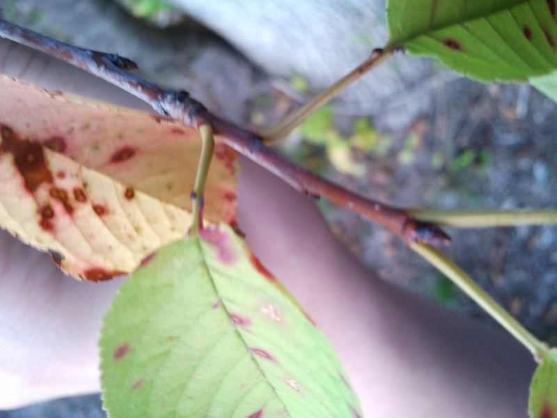 Birch Identification 2012-017