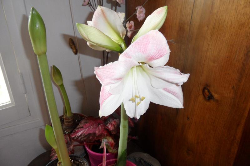 Amaryllis (hippeastrum) -culture, entretien, floraison - Page 2 00415
