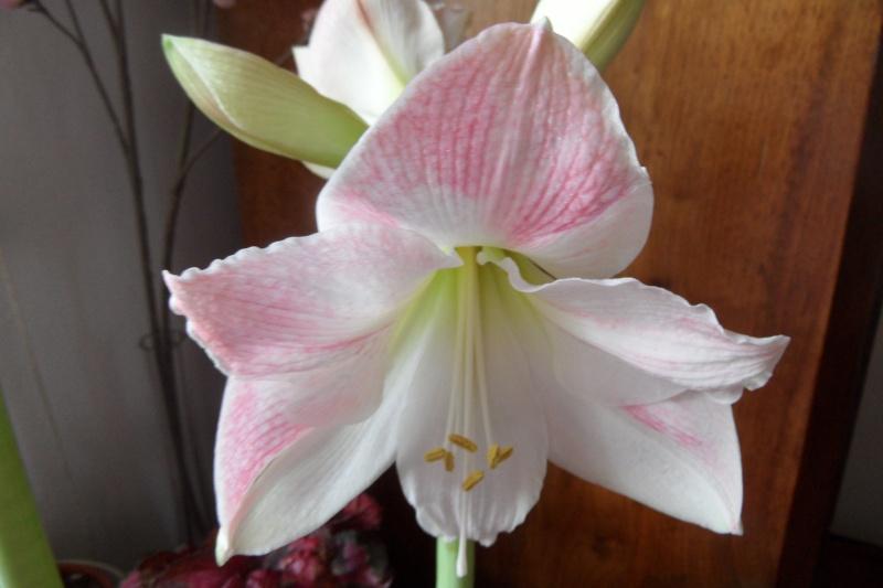 Amaryllis (hippeastrum) -culture, entretien, floraison - Page 2 00516