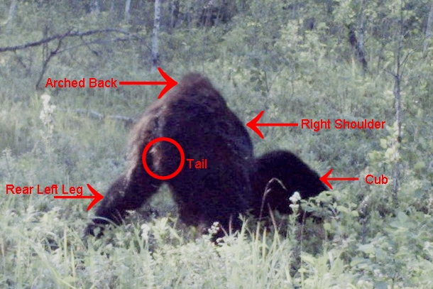 New Footage: A Trapper In Alberta Canada Took This Amazing Photo Of Bigfoot Albert10