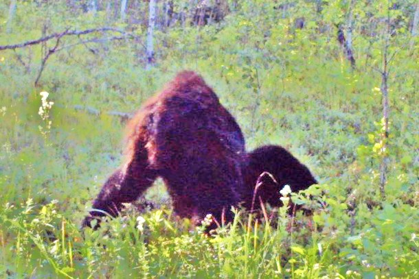 New Footage: A Trapper In Alberta Canada Took This Amazing Photo Of Bigfoot Albert12