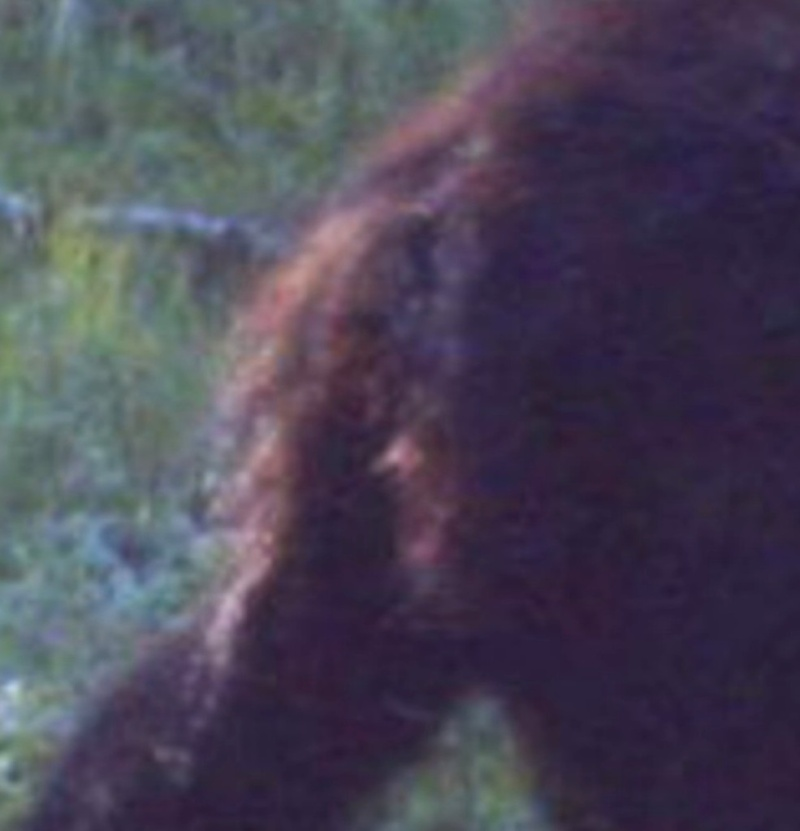 New Footage: A Trapper In Alberta Canada Took This Amazing Photo Of Bigfoot Albert15