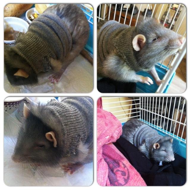 Le rat saucisson - Protéger une plaie après opération - Page 6 Photo_15