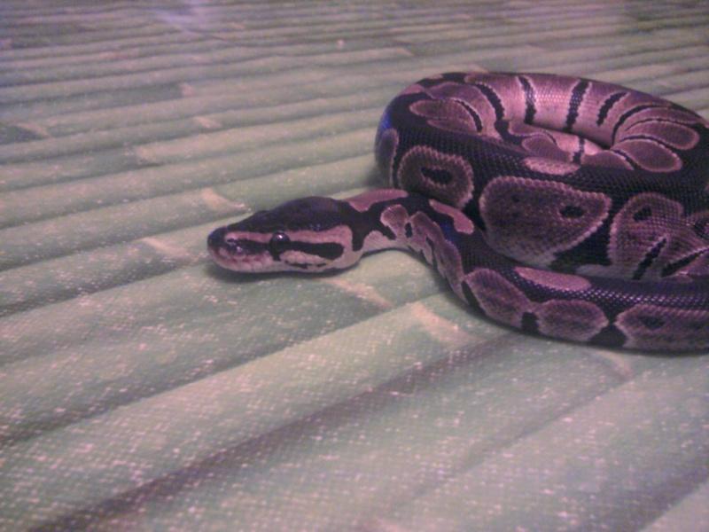 photos de mes reptiles.. 2012-012