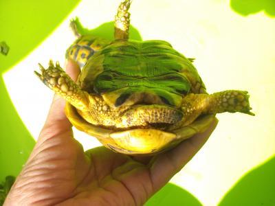 Identification des tortues de Speedylola Derria12