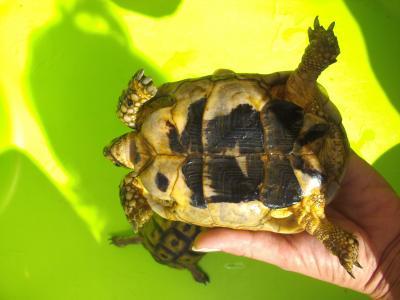 Identification des tortues de Speedylola Lola_v11