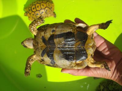 Identification des tortues de Speedylola Speedy15
