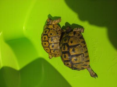 Identification des tortues de Speedylola Speedy17