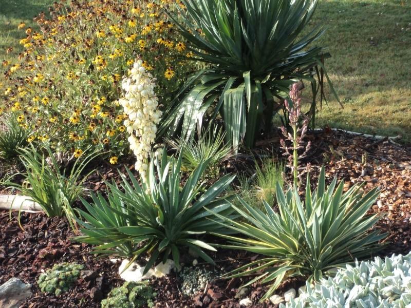 fleurs de yucca sp Dsc03511