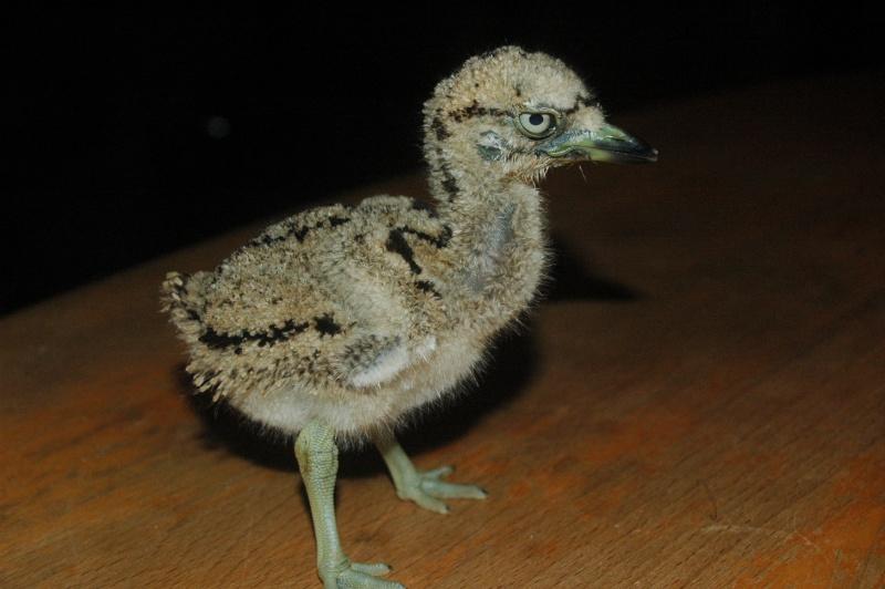 Connaissez-vous cet oiseau??? Dsc_9112