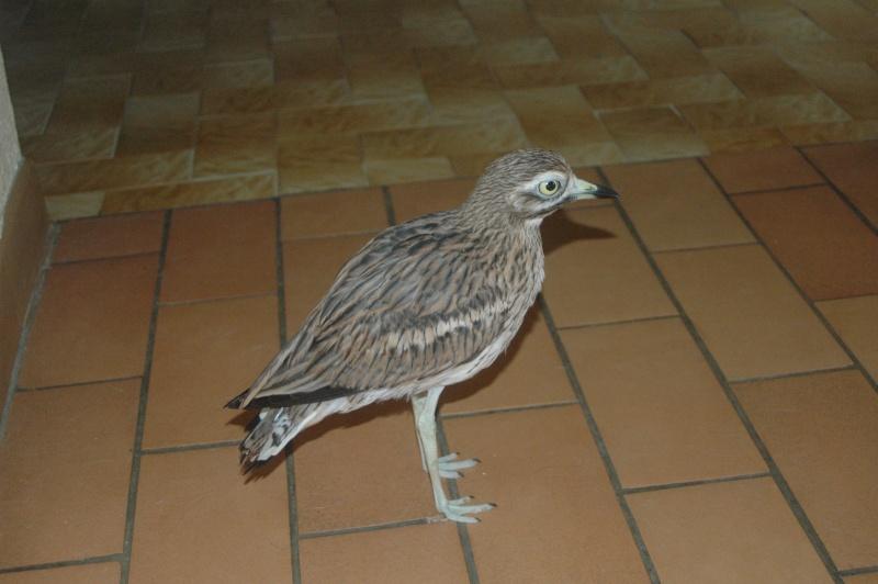 Connaissez-vous cet oiseau??? Dsc_9710