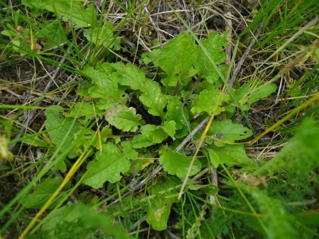plantes sauvages à identifier  2_310