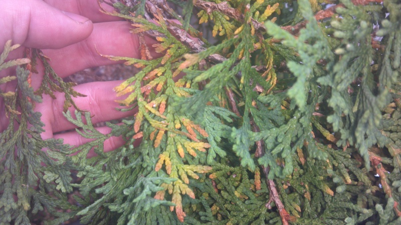 Thuja occidentalis (northern white cedar) foliage problem/browning 2012-010