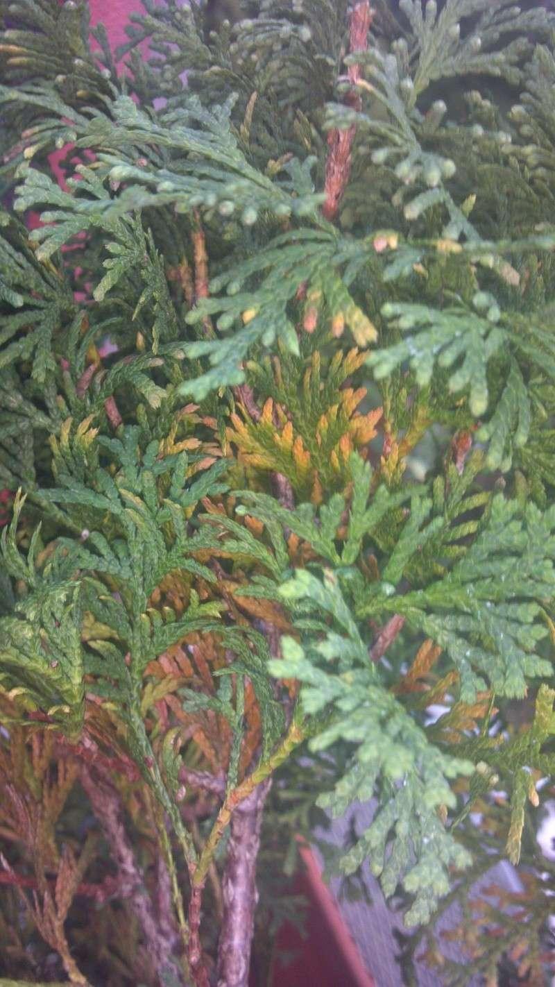 Thuja occidentalis (northern white cedar) foliage problem/browning 2012-011