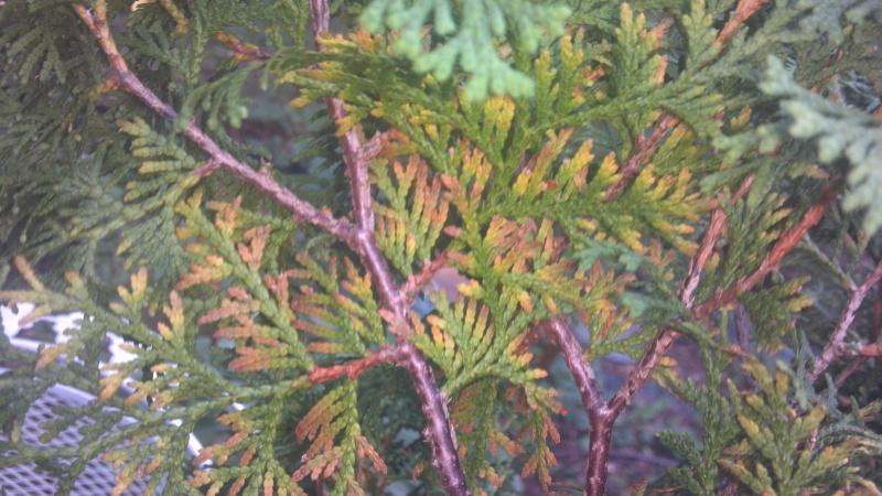 Thuja occidentalis (northern white cedar) foliage problem/browning 2012-012