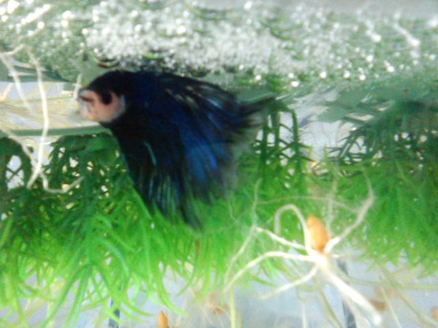 Repro HM marbé géno dt / HM turquoise géno DT Dsc00012