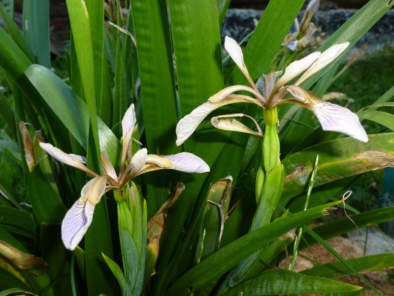 Iris foetidissima P1000310