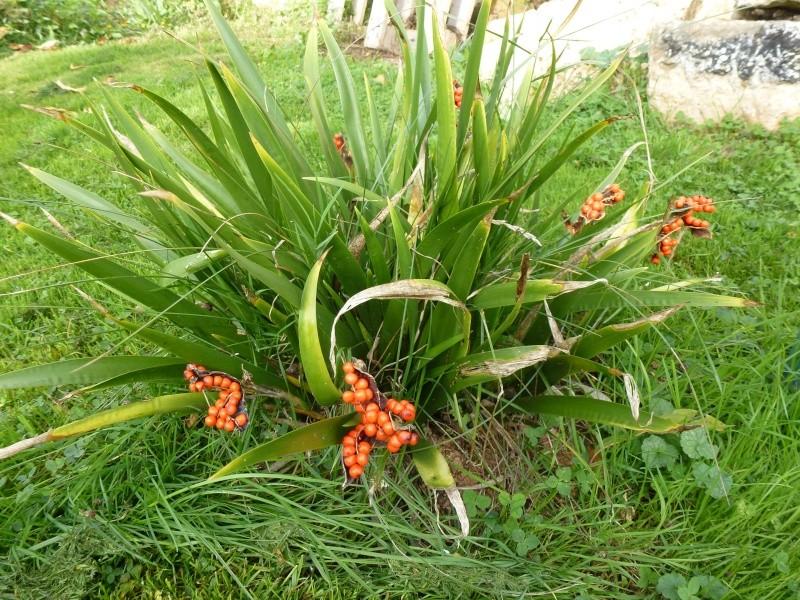 Iris foetidissima P1000513