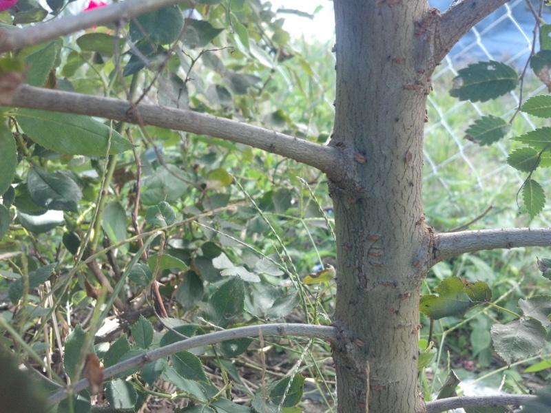 grey-bark elm ?? 2012-012