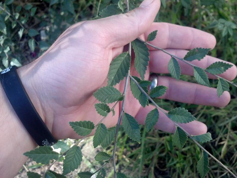 grey-bark elm ?? 2012-013