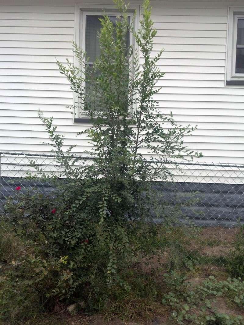 grey-bark elm ?? 2012-014