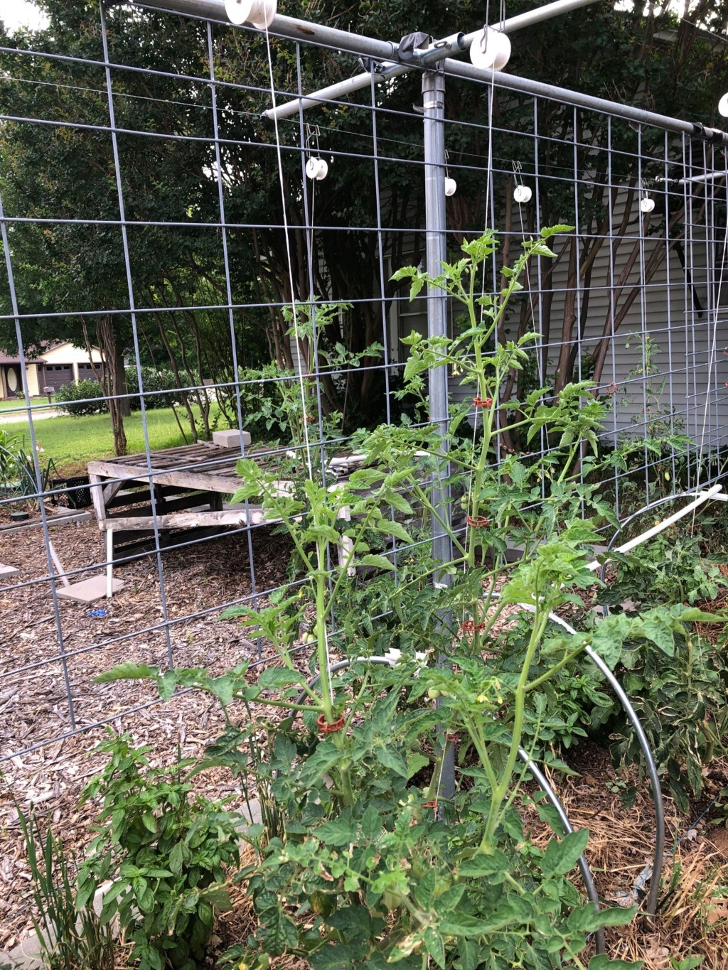 My SFG journey- using hanging clips on cucumber and tomatoes Img_0617