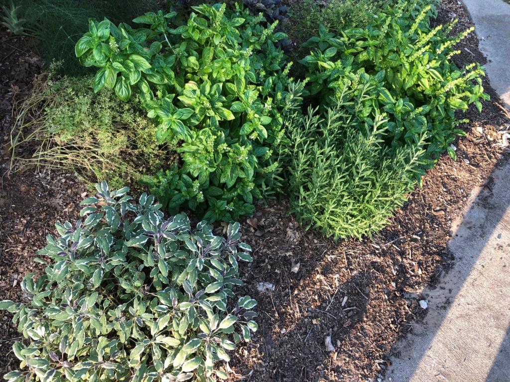 my SFG journey-herbs Img_0720