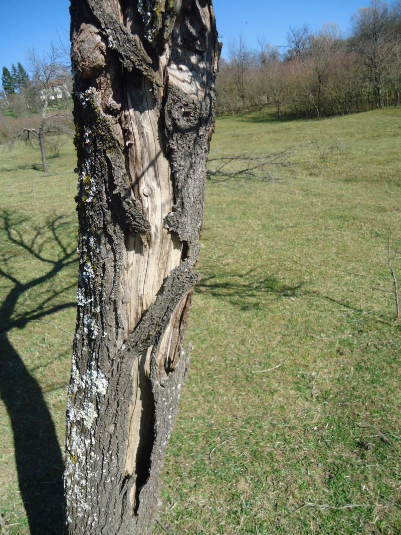Bijeljenje/krečenje stabala voćaka Dsc00010