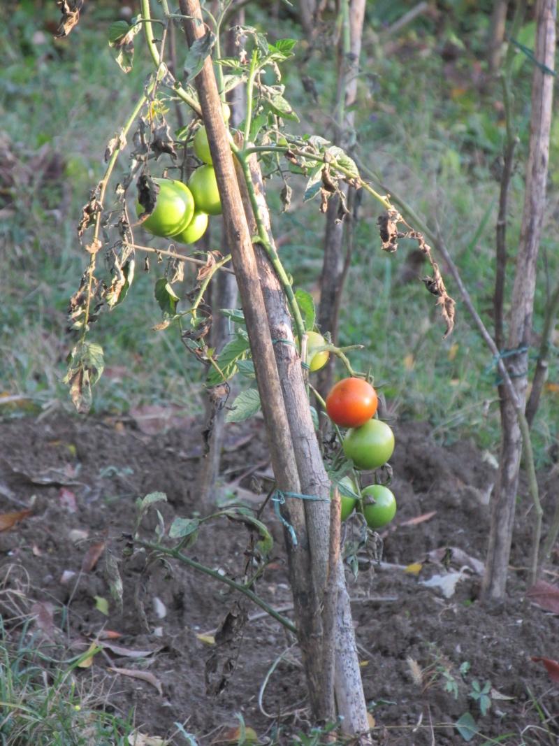 Rajčica - paradajz  Img_1514