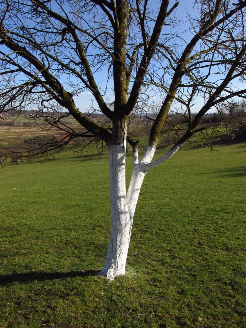 Bijeljenje/krečenje stabala voćaka Img_3910