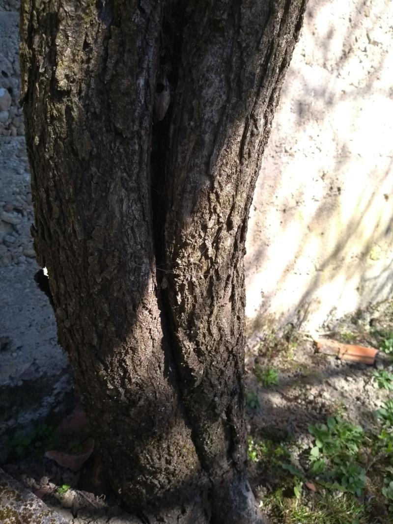 Bijeljenje/krečenje stabala voćaka Mareli10