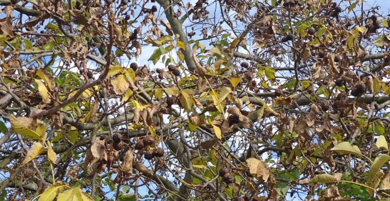 Zaštita voćnjaka od bolesti i štetočina Mumifi10
