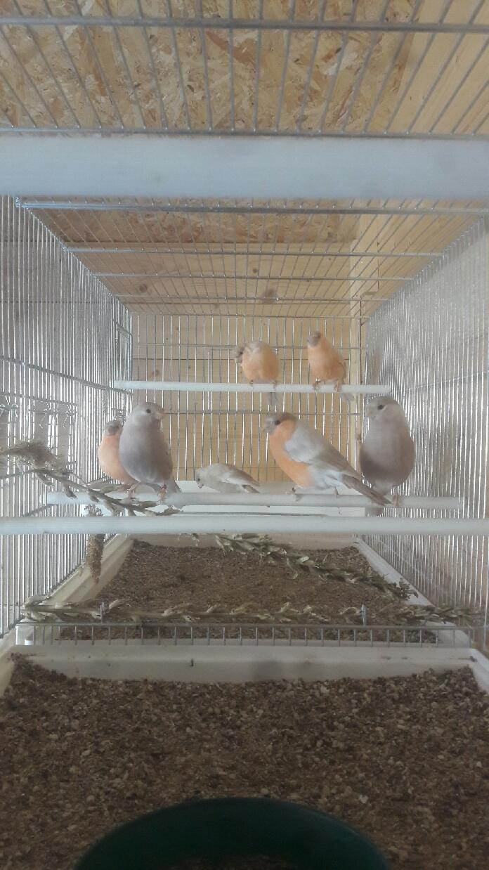 Mes oiseaux  Compre16