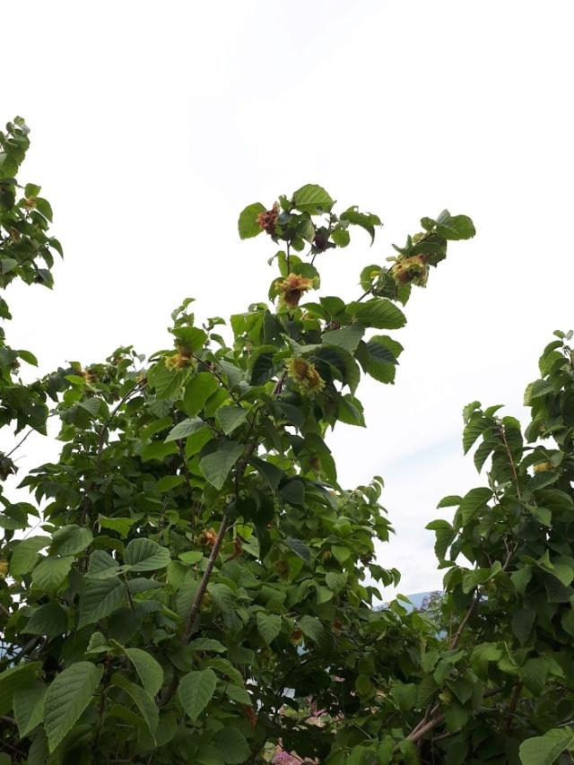 Un arbre aux fruits étranges...*TROUVÉ: Noisetier d'Amérique * 20180864