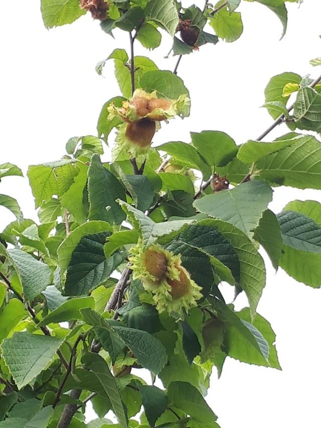 Un arbre aux fruits étranges...*TROUVÉ: Noisetier d'Amérique * 20180865