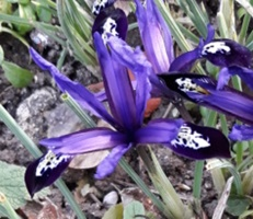 GUIDE D'IDENTIFICATION : les IRIS  Blue_n10