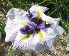 GUIDE D'IDENTIFICATION : les IRIS  Capric10