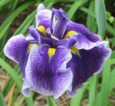 GUIDE D'IDENTIFICATION : les IRIS  Crysta11