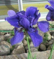 GUIDE D'IDENTIFICATION : les IRIS  Dreami10