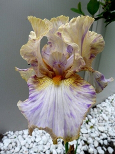 GUIDE D'IDENTIFICATION : les IRIS  Holy_k10