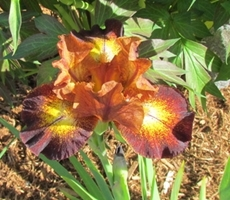 GUIDE D'IDENTIFICATION : les IRIS  Hot_sp10