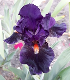 GUIDE D'IDENTIFICATION : les IRIS  Impera10